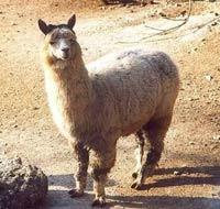 Alpacawol van de alpaca-lama.